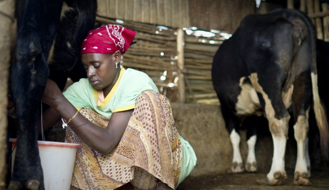 Yeshi is a professional milkmaid. She milks cows for households throughout Bishoftu twice a dayÑearly in the morning and again at night. Bishoftu, Oromia, Ethiopia.