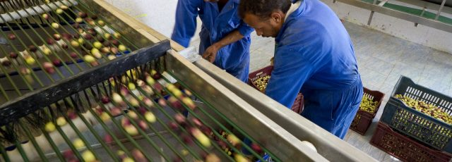 Workers at the Zaytun project's olive microprocessing unit in Siwa put olives of different sizes into baskets as they come through the unit's new grading machine.