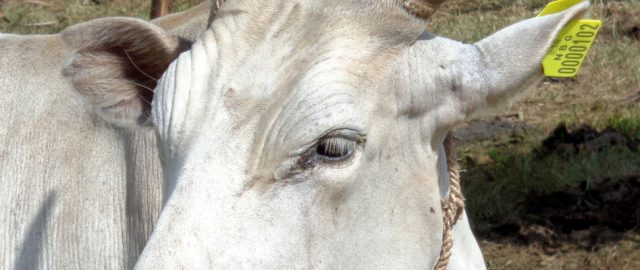 CNFA_South_Sudan_Cattle_Program_Banner