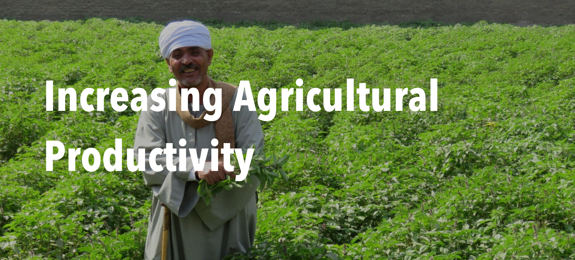 """Man in field of basil with header text """"Increasing Agricultural Productivity"""""""