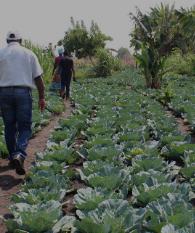 People walking in field of lettuce