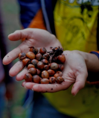 Hands holding hazelnuts