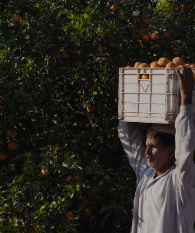 Man carrying oranges in orchard