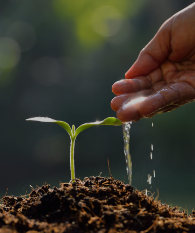 Hand watering seedling