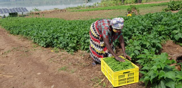 A farmer packages French beans at one of the irrigation sites in Bugesera District, Rwanda. Photo courtesy Victor Mugarura.
